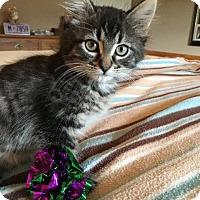 Adopt A Pet :: Little Bit - St. Louis, MO