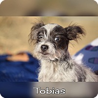 Chihuahua/Terrier (Unknown Type, Small) Mix Puppy for adoption in Rosamond, California - Tobias