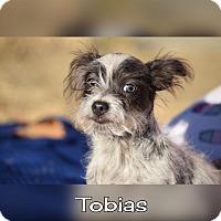 Adopt A Pet :: Tobias - Rosamond, CA
