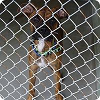 Boxer Mix Dog for adoption in Brooksville, Florida - DAVE