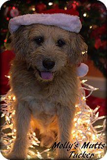 Terrier (Unknown Type, Medium)/Schnauzer (Standard) Mix Dog for adoption in Dixon, Kentucky - Tucker