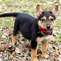 Adopt A Pet :: PUPPY LOLO - Norfolk, VA
