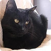 Domestic Shorthair Cat for adoption in Woodland Hills, California - Cody
