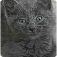 Adopt A Pet :: Zeplin - Arlington, VA