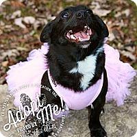 Adopt A Pet :: Maggie Mae - Albany, NY