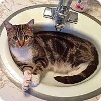 Adopt A Pet :: Chipmunk - Arlington, VA