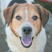 American Bulldog Mix Dog for adoption in Poland, Indiana - Truman