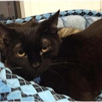 Domestic Shorthair Cat for adoption in Huntington, New York - Mischa