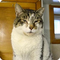 Domestic Shorthair Cat for adoption in Queens, New York - Mickey