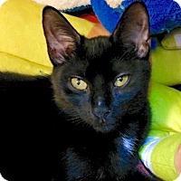 Adopt A Pet :: Bombay Beauty Dora - Brooklyn, NY