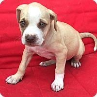 Adopt A Pet :: Jasmine - St Petersburg, FL