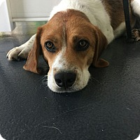 Adopt A Pet :: Roscoe 1 meet me 7/22 - Manchester, CT