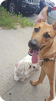 German Shepherd Dog/Chow Chow Mix Dog for adoption in Brooklyn, New York - Scottie
