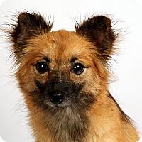 Adopt A Pet :: Gloria Grace Chimix - St. Louis, MO