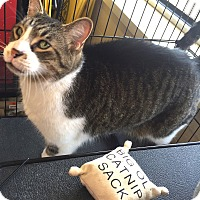 Domestic Shorthair Cat for adoption in Holland, Michigan - Parker