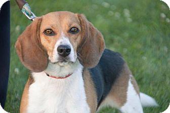 Beagle Dog for adoption in Williamsburg, Iowa - Morgan
