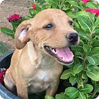 Adopt A Pet :: Ana - Thousand Oaks, CA