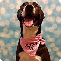 Adopt A Pet :: Cleo - Carlisle, PA