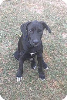 Labrador Retriever Mix Puppy for adoption in Blountstown, Florida - Trooper