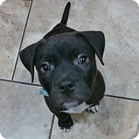 Adopt A Pet :: Ben - Grafton, WI