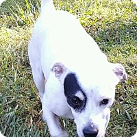 Jack Russell Terrier Mix Dog for adoption in Hammond, Louisiana - Fonzy