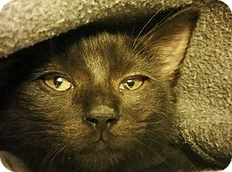 Domestic Shorthair Kitten for adoption in Bethesda, Maryland - Acadia