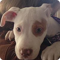 Adopt A Pet :: Darla - Belleville, MI