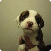Adopt A Pet :: Baby Fig Newton - adoption pending - Rockville, MD