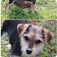 Adopt A Pet :: Tala - Great Falls, VA