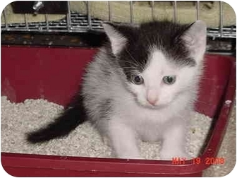 American Shorthair Kitten for adoption in Inverness, Florida - Phantom Right
