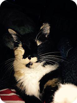 Domestic Shorthair Cat for adoption in Mesa, Arizona - Callie
