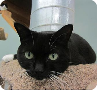 Domestic Shorthair Cat for adoption in Kingston, Washington - Chloe