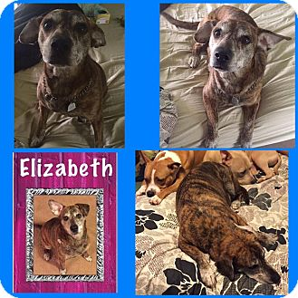 Boxer/Labrador Retriever Mix Dog for adoption in Salisbury, North Carolina - Elizabeth