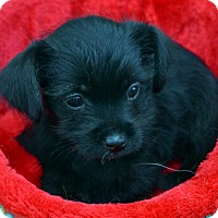 Adopt A Pet :: Christine - Bridgeton, MO