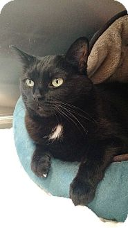 Domestic Shorthair Cat for adoption in Chicago, Illinois - Gina