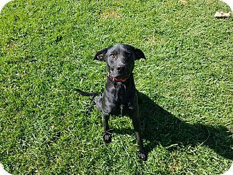 Labrador Retriever Mix Dog for adoption in Moberly, Missouri - Xolo