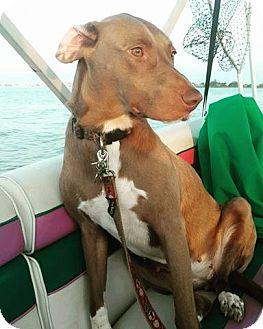Weimaraner Mix Dog for adoption in WESTMINSTER, Maryland - Sandy