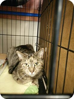 Domestic Shorthair Cat for adoption in Avon, Ohio - Dixie