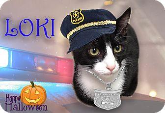 Domestic Shorthair Kitten for adoption in East Brunswick, New Jersey - Loki