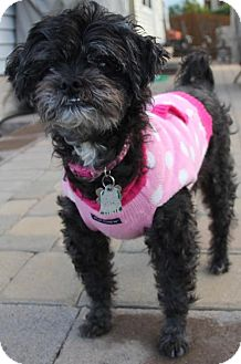 Lhasa Apso/Poodle (Miniature) Mix Dog for adoption in Westminster, Maryland - Muffin Girl