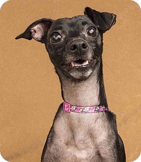 Italian Greyhound/Chihuahua Mix Dog for adoption in Davis, California - Elle