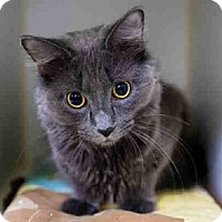 Russian Blue Cat for adoption in Westerly, Rhode Island - Nikki RB/TA