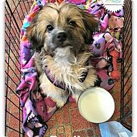 Adopt A Pet :: Benji - Plainfield, IL