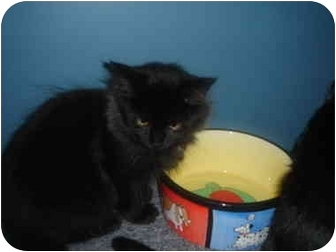 Maine Coon Kitten for adoption in Solon, Ohio - Jada