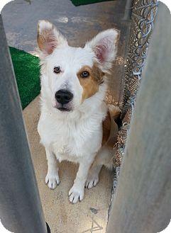 Australian Shepherd Dog for adoption in san antonio, Texas - Jemma