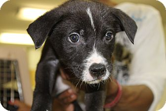 Labrador Retriever/Shepherd (Unknown Type) Mix Puppy for adoption in Waldorf, Maryland - Bentley