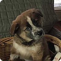 Adopt A Pet :: Marcella - Austin, TX
