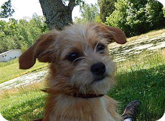 Sonny | Adopted Puppy | Fairmount, GA | Lhasa Apso/Yorkie ...