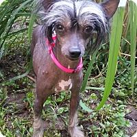 Adopt A Pet :: Luna-Adoption pending - Bridgeton, MO