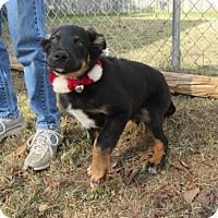 Adopt A Pet :: Tyler - Bedford, TX